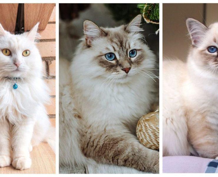 10 найкрасивіших порід кішок: справжня насолода для любителів тварин